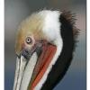 Brown Pelican - Santa Cruz Wharf, CA