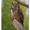 Great-honred Owl