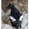 Pidgeon Guillemot