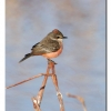 Vermillian Flycatcher