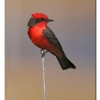Vermillian Flycatcher