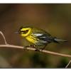 Townsends Warblerr