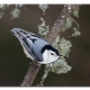 White-breasetd Nuthatch