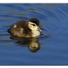 Wood Duck (duckling)
