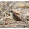 Botteris Sparrow