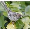 Loncolns Sparrow