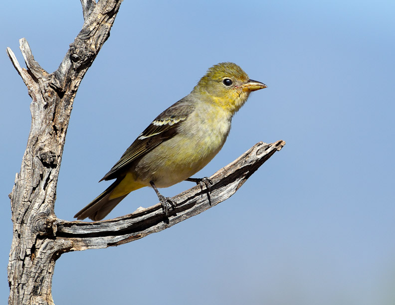 Western Tanager (Female) | Mostly Birds—Photographs by Larry Selman