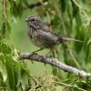 Liincoln's Sparrow