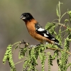 Black-heaaded Grosbeak