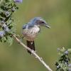 Western Scrub-Jay on  Ceanothus Branch