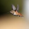 Allan's Hummingbird