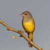 MacGilivrays Warbler