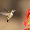 Caliope Hummingbird
