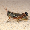 Arid Lands Spur-throat Grasshopper