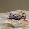 Humphrey's Grasshopper