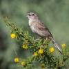 Botteri Sparrow