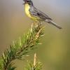 Kirtland's Warbler,