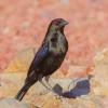 Bronzed Cowbird © Larry Selman